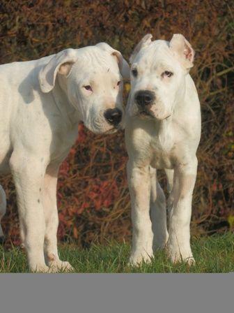Dogo Argentino Rev Corrientes Every Dog Breed Dog Argentino