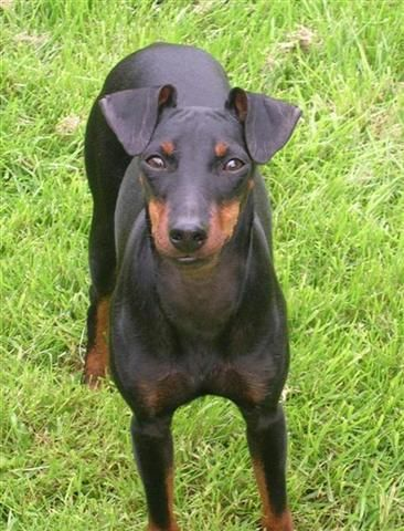 Manchester Terrier English Toy Terrier Black And Tan Terrier