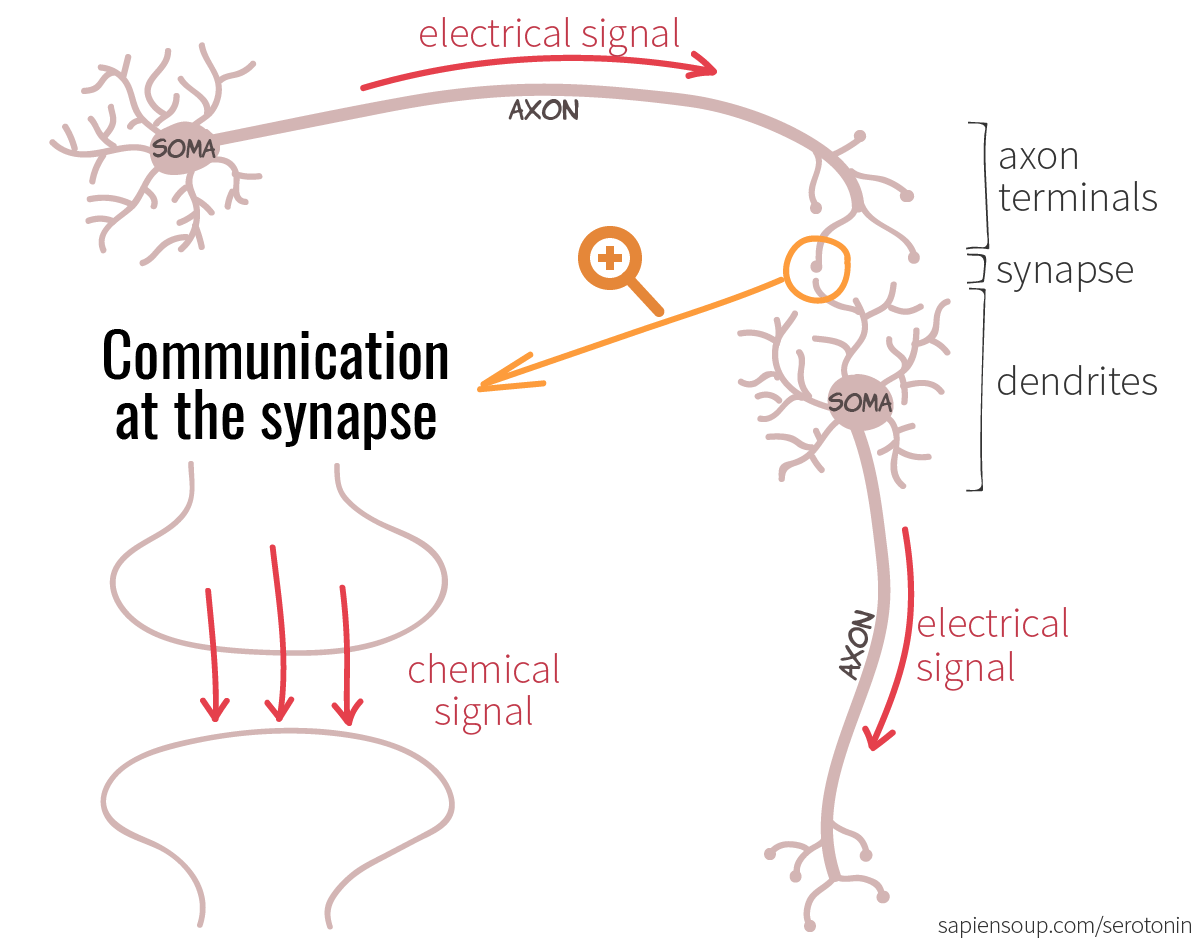 Dendrites are conductors of an electrical impulse 26