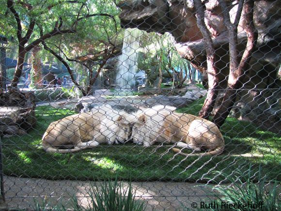 siegfried and roy cubs white lions siegfried and roys secret garden las vegas nevada - Siegfried And Roy Secret Garden