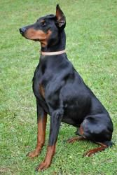 Tank Is An Adoptable Doberman Pinscher Dog In Rockmart Ga K9