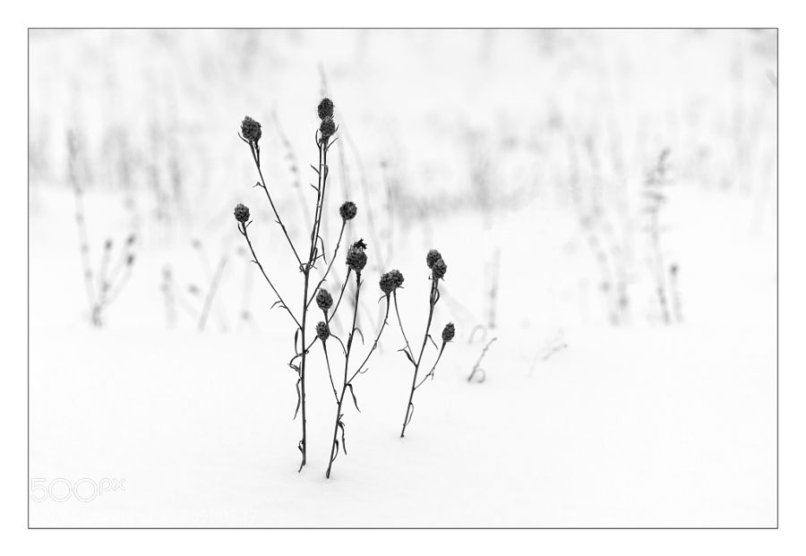 Grass in the snow. by iiplus