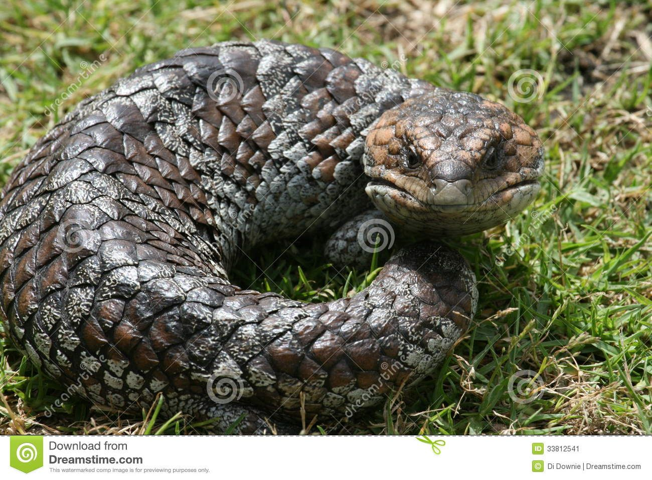 australian-bobtail-goanna-even-blue-tongue-lizard-common-names ...