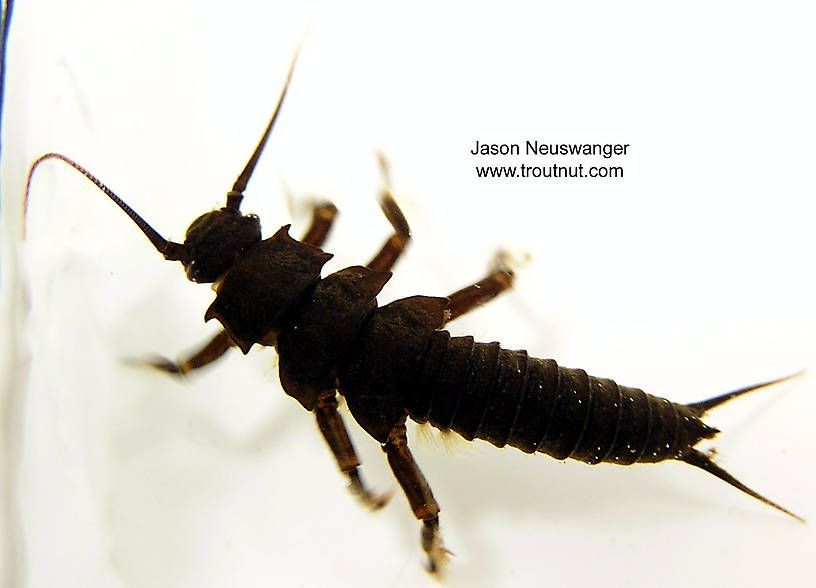 Photo of Pteronarcys dorsata (Giant Black Stonefly) Stonefly Nymph –  Pteronarcys dorsata…