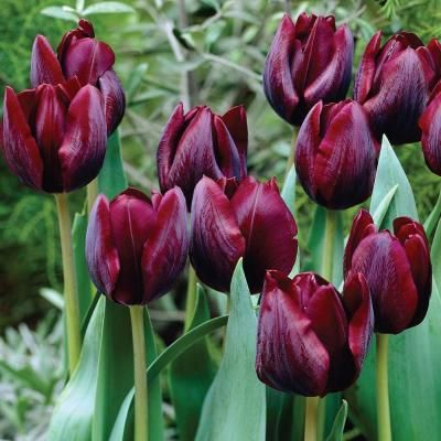 tulipa ronaldo