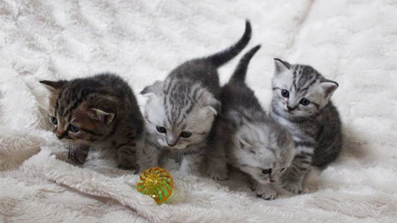 Cute Little Kittens Meowing and Rolling on their Back
