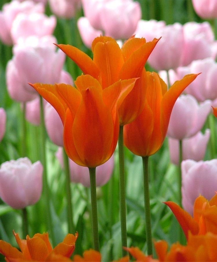 Tulip Ballerina Lily Flowering Tulips Tulips Flower Bulb Index Bulb Flowers Tulips Images Planting Tulips