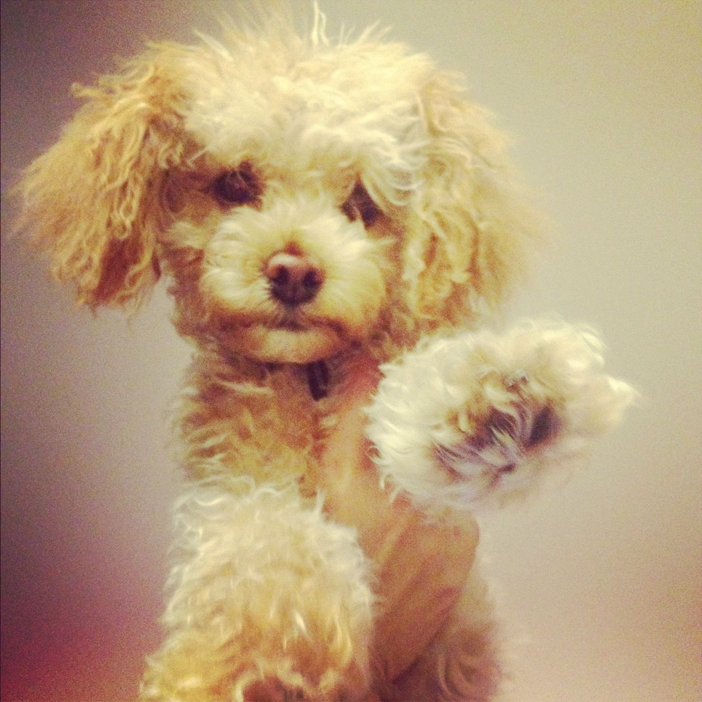 Platinum tea cup poodles for sale dog breeds picture - Apricot Toy Poodle How My Dog Looks After A Haircut