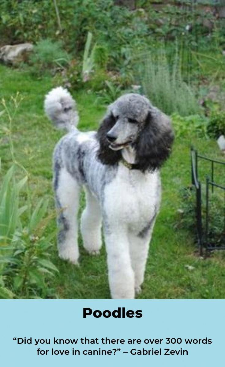 The Traits We Admire About The Eager Poodle Poodleparty