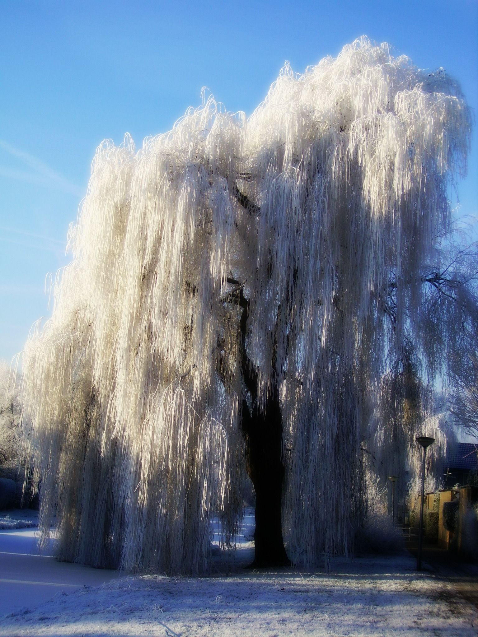 Iced Weeping Willow