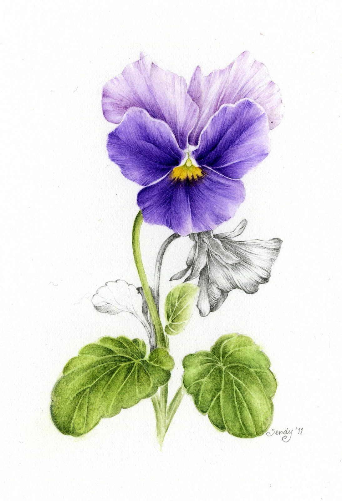 April Blossom Pansy Watercolor Pencil Flower Drawing Flower Art Flower Painting
