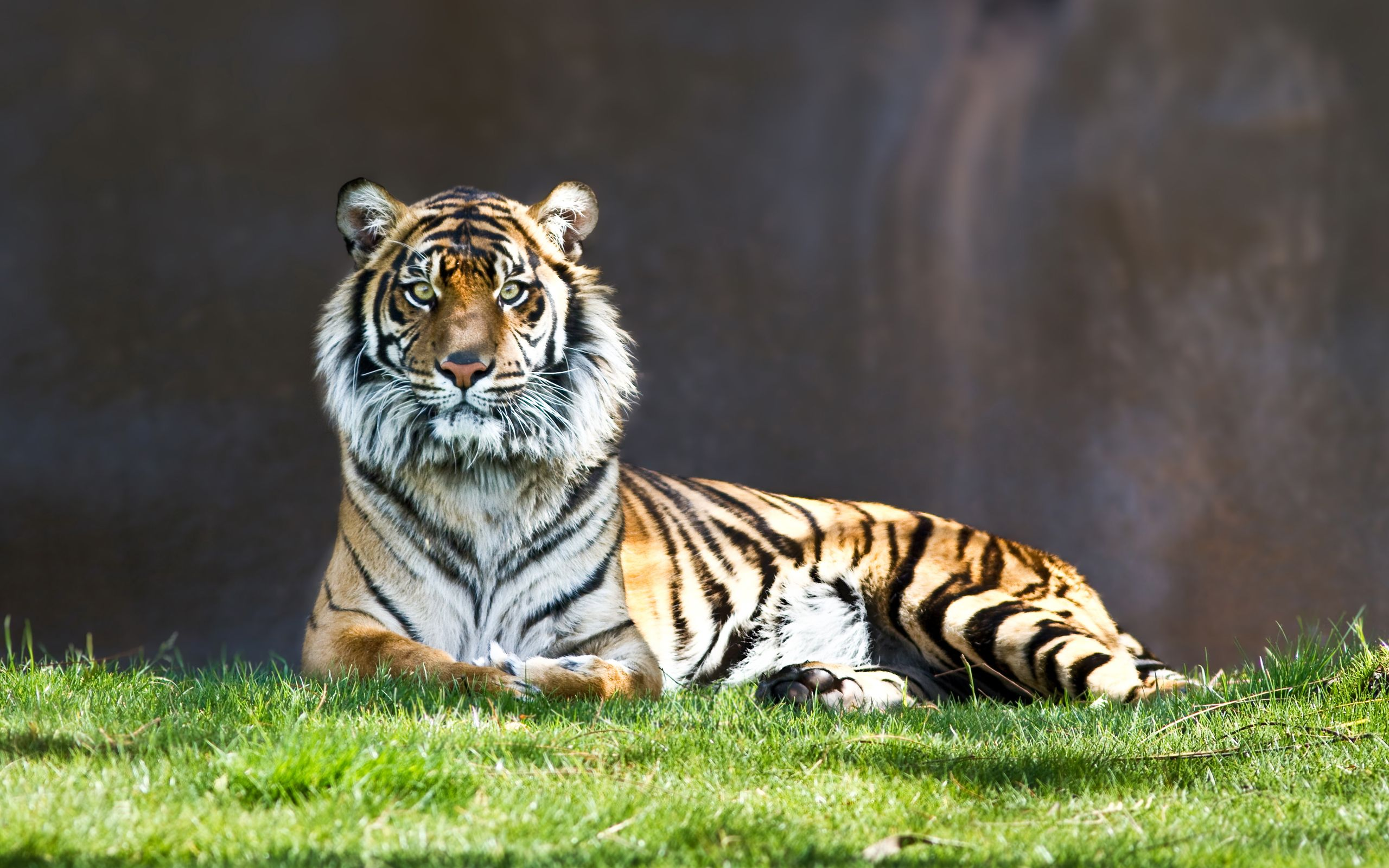 tiger staring wallpaper - http://www.56pic/animals-birds/tiger