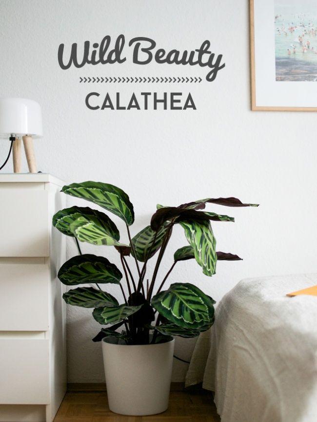 Entspannter Schlaf Mit Der Calathea Schlafzimmer Pflanzen Topfpflanzen Terrasse Pflanzen