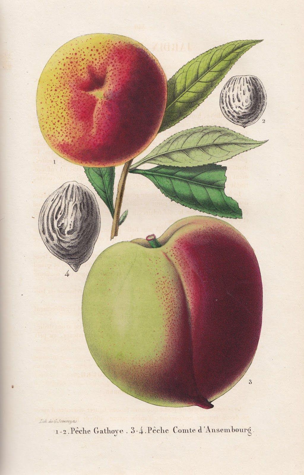 Free Vintage Botanical Printable Peach http://stores.ebay.com/SANDTIQUE-Rare-Prints