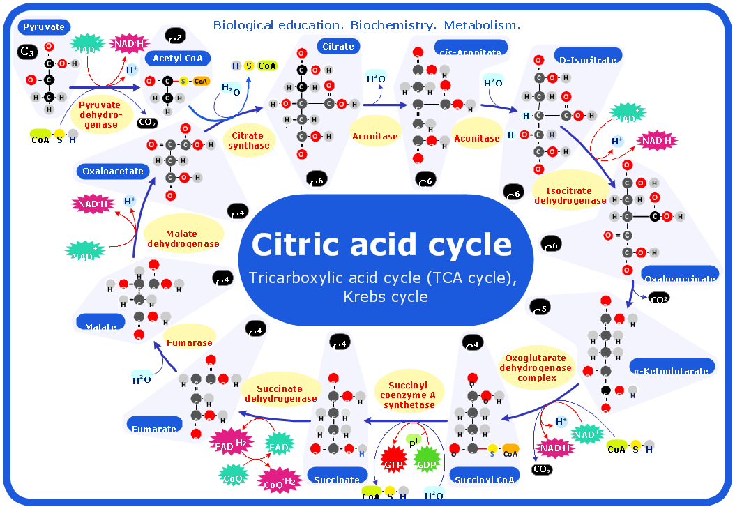 Biochemical diagram Citric acid cycle. ConceptDraw