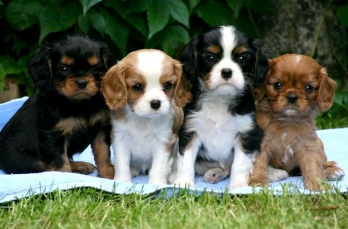 Cavalier King Charles Puppies for Sale – Adorable Puppies Looking for Homes