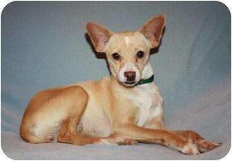 Modesto Ca Rat Terrier Chihuahua Mix Meet Chloe A Dog For