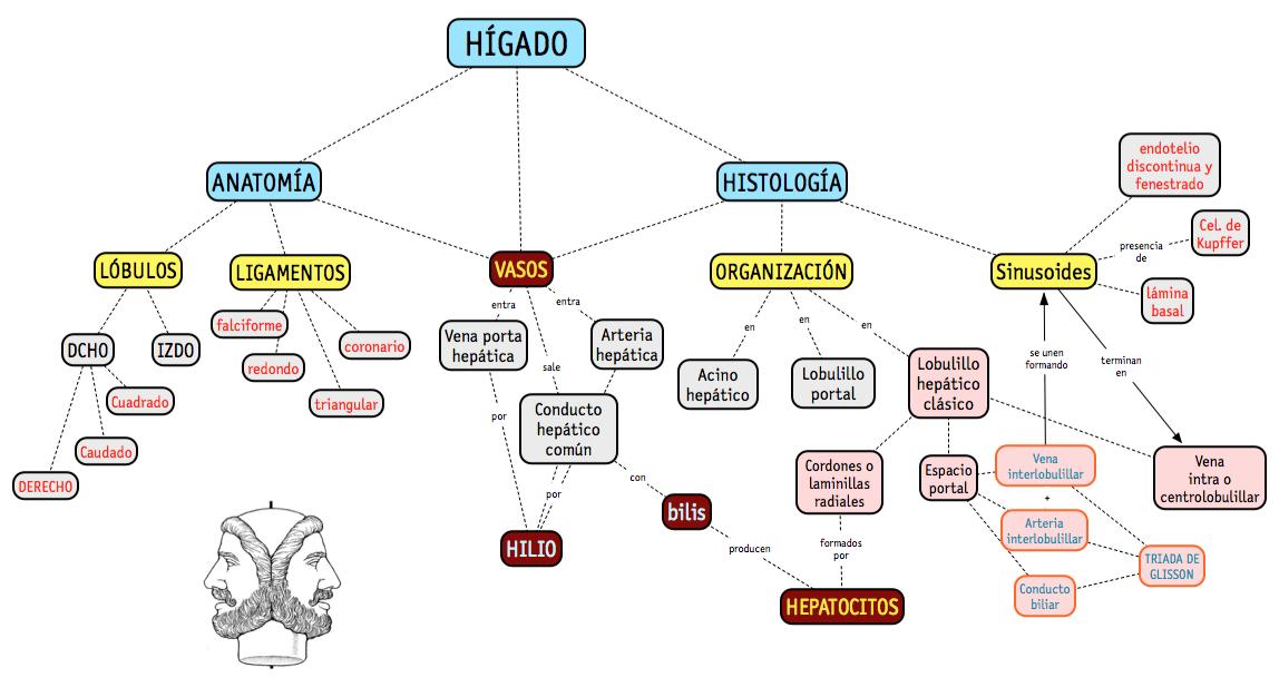 Mapa sobre la Histología (y algo de anatomía) del hígado para una ...