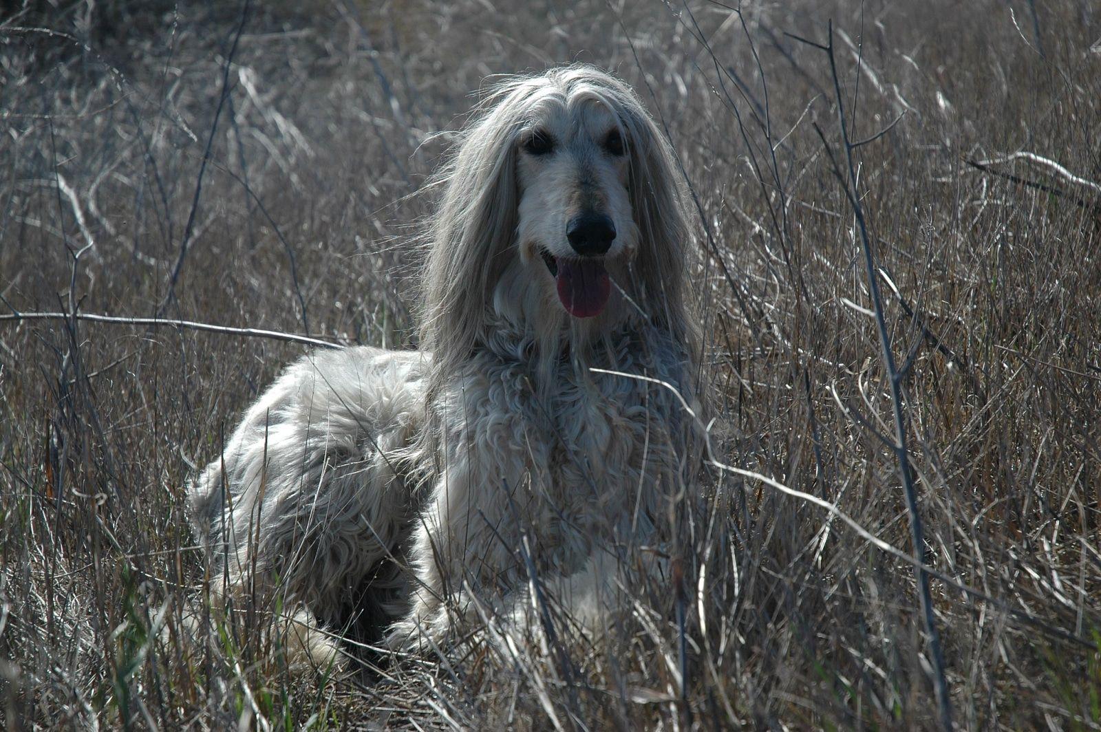 Afghanischer Windhund Afghanischer windhund, Hunderassen