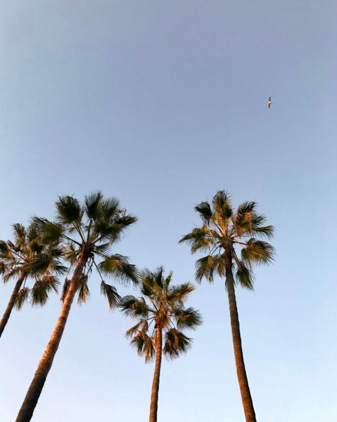Palm Trees Blue Aesthetic Summer Vibes Beach Aesthetic West Coast California Style Los Angeles Travel Palm Trees Wallpaper Sky Aesthetic Beach Aesthetic