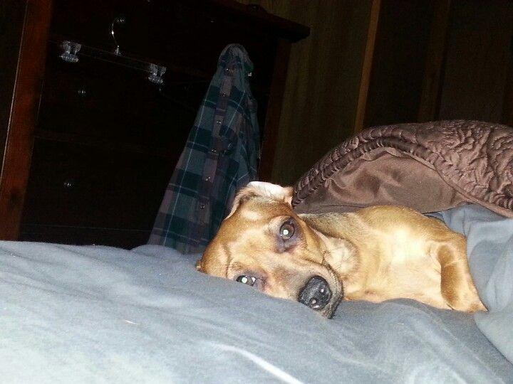 Chiweenie Chihuahua Animals Dachshund