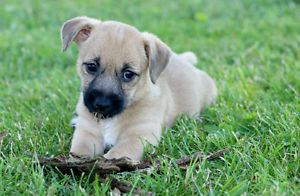 Beautiful Cairn Terrier X Jack Russell Puppies For Sale City Of