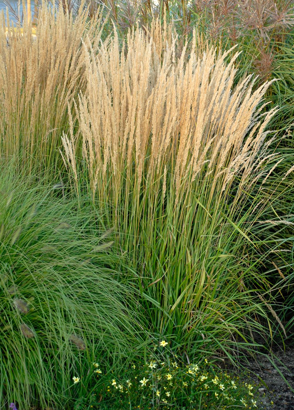 Calamagrostis X Acutiflora Karl Foerster Stonehouse Nursery Ornamental Grass Landscape Perennial Grasses Grasses Landscaping