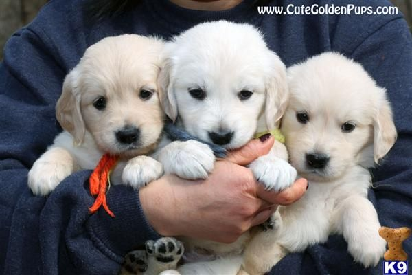 English Golden Retriever Puppies Oh Such Sweet Little Furballs