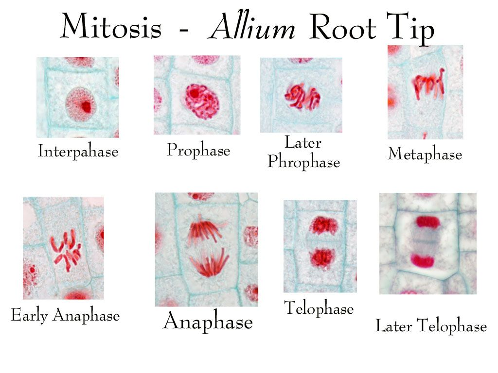 hight resolution of lots of biology pictures photosynthesis and cellular respiration cell membrane mitosis biology lessons