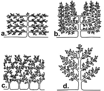 Espalier and Festooning fruit trees - IDigMyGarden Forums  http://www.idigmygarden.com/forums/showthread.php?t=51937