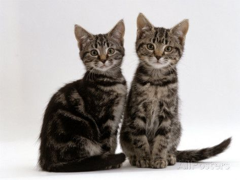 Domestic Cat, Two 8Week Tabby Kittens, Male and Female