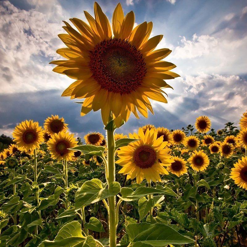 Flowers iPad Wallpaper 2 | Sunflowers background ...