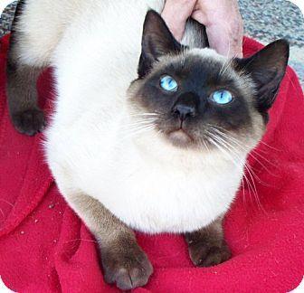 Williston Park Ny Siamese Meet Simon A Cat For Adoption Kitten Adoption Cat Adoption Pets