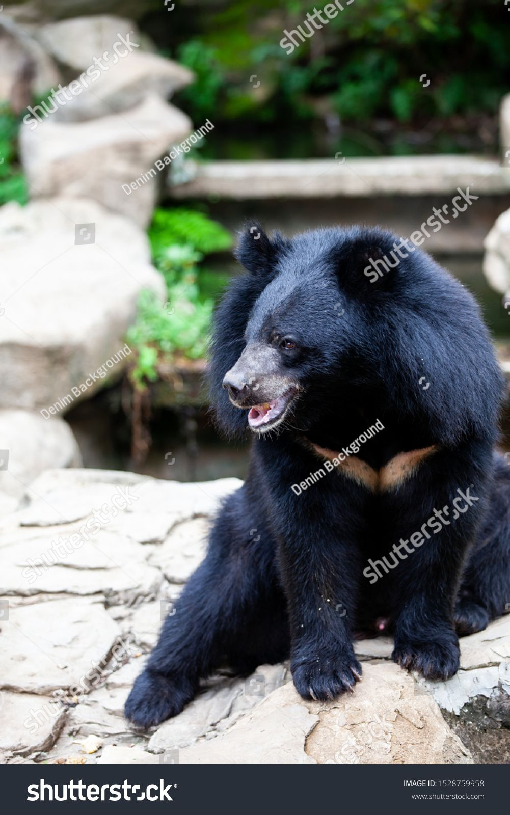 Asian Great Black Bear Danger Mammal Image Photo Black Bear Bear Mammals