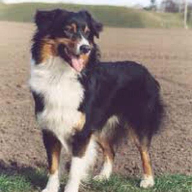Black Tri Australian Shepherd Aussie Dogs Shepherd Dog Breeds Australian Shepherd