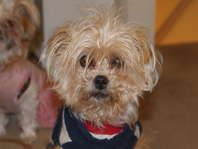 Lost Yorkshire Mix In West Jordan Lost And Found Pets Pets And