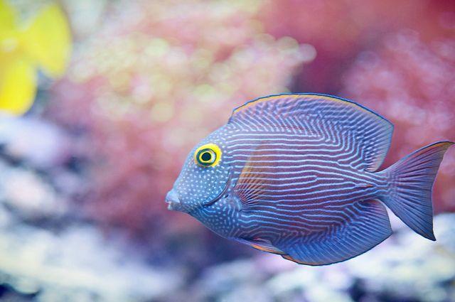 Yellow Eye Kole Tang Cute Small Animals Aquarium Fish Tank Marine Fish