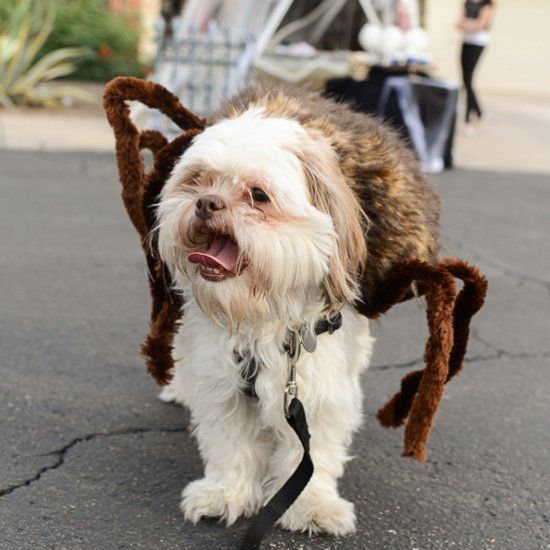 Make This Easy No Sew Spider Costume For Your Dog This Halloween