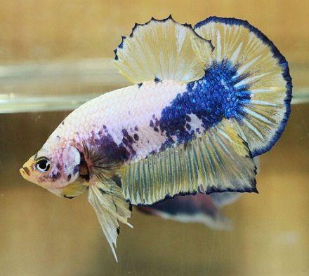 Fancy Hmpk 8 Sold Betta Fish Betta Fish Pet