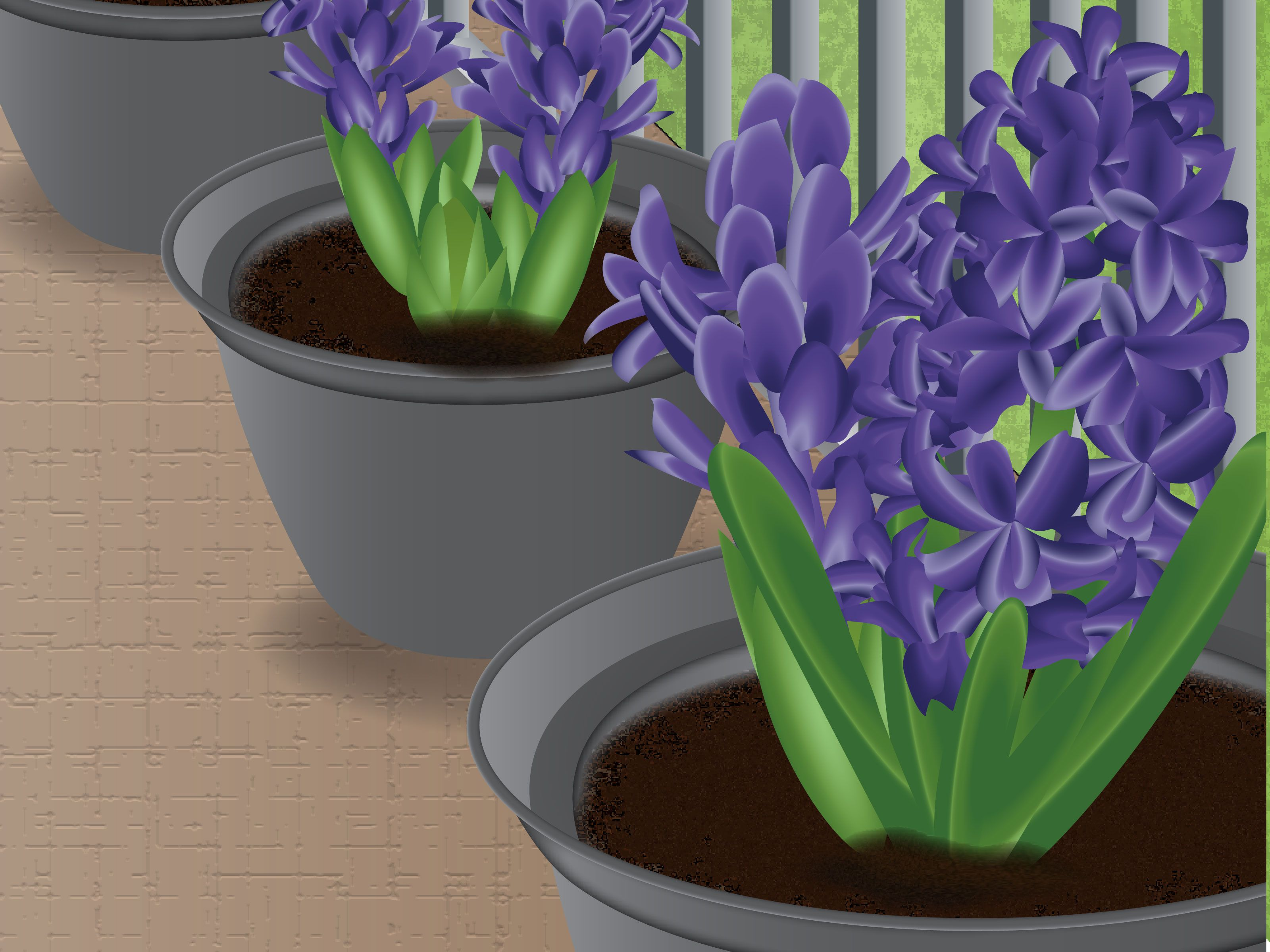 How to Plant Hyacinths   Plants, Hyacinth, Sweet smelling ...