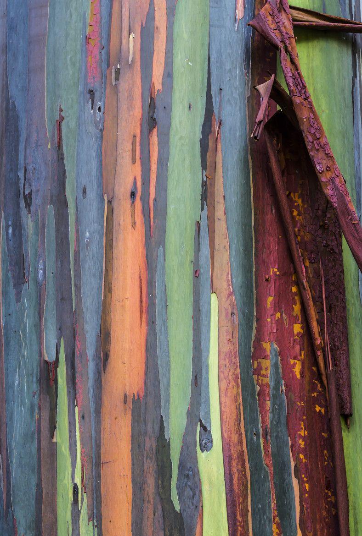 Photograph Rainbow Eucalyptus tree by Kelly Headrick on