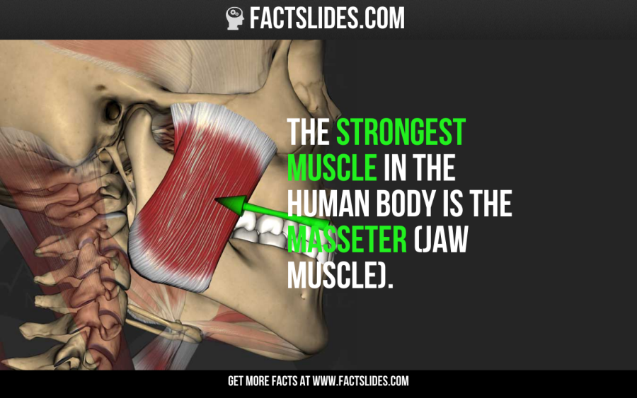 the strongest muscle in the human body is the masseter (jaw muscle,