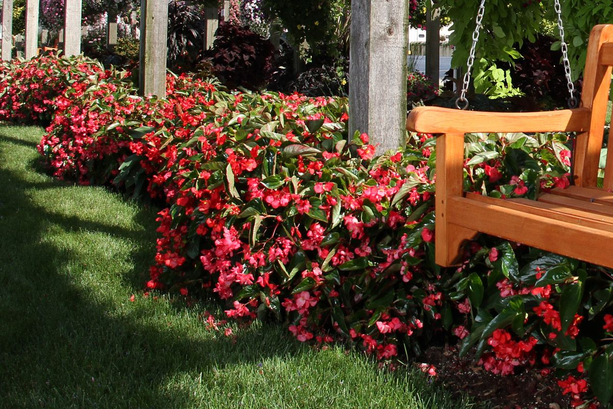 Landscape Site Solutions Begonia Perennial Flowering Plants Begonia Dragon
