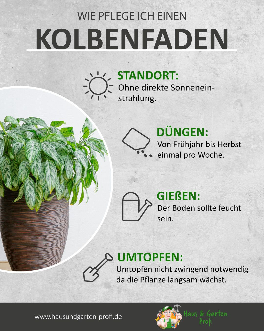 Kolbenfaden: So simpel funktioniert es (Standort, Düngen, Gießen, Umtopfen)