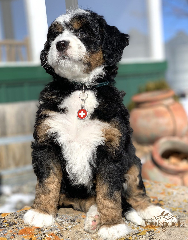 Miniature Micro Mini And Australian Bernedoodle Puppies For Sale Alpine Bernedoodles Bernedoodle Puppy Bernedoodle Bernadoodle Puppy