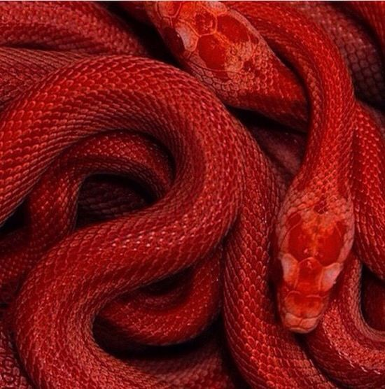 Ouroboros in red, black and white- the most basic