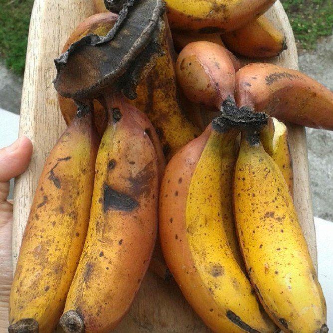 cuban red banana box pre order banana fruit fruity pinterest
