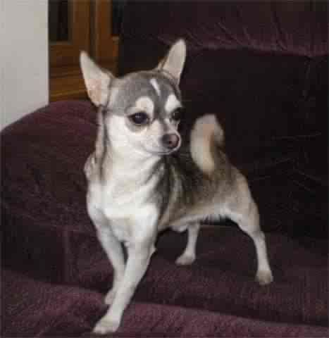 Black Sabled Silver Chihuahua This Looks Just Like My Bandit