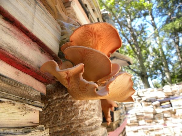 Mushrooms grow from a decaying wall of books in an art installation by Rodney LaTourelle and Theo Folkerts