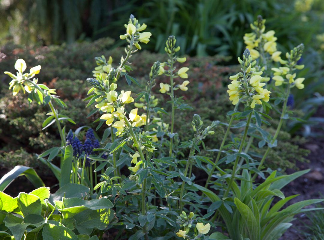 Thermopsis Chinensis Sophia Or Pea Bush Blooms With Muscari